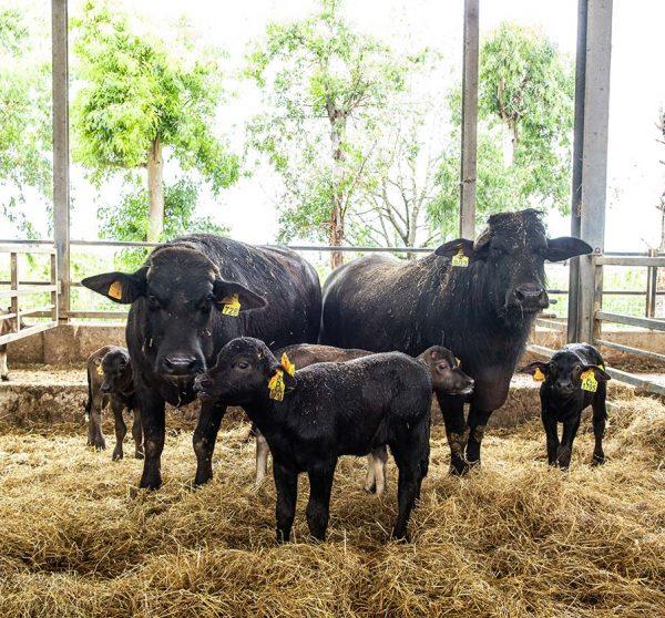 AGRCIOLA-CIIRCE-adotta-bufala-prodotto